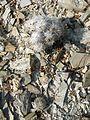 Strombocactus disciformis and Mammillaria parkinsonii (5780107983).jpg