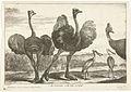 Struisvogels, kasuaris en lepelaar.jpeg