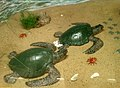 Stuffed Display of (Lepidochelys olivacea) Olive Ridley turtles at Vizag Zoo Park.jpg