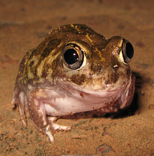 <i>Neobatrachus</i> genus of amphibians