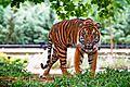 Sumatran Tiger USFWS.jpg