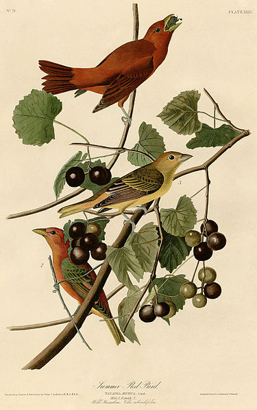 Summer Red Bird (Audubon).jpg