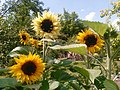 Sunflowers-Сунцокрети 01.jpg