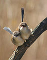 Superb Fairy-wren (Malurus cyaneus) -pair.jpg