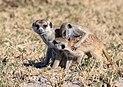 Suricatos (Suricata suricatta), parque nacional Makgadikgadi Pans, Botsuana, 2018-07-30, DD 29.jpg