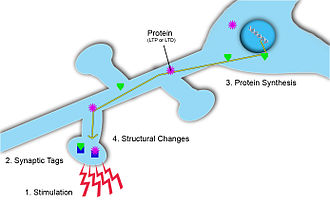 Homosynaptic plasticity - In a neuron, synaptic tagging occurs in a series of steps in order to provide information on synaptic plasticity.