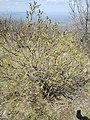 Syringa vulgaris, Oleaceae 04.jpg