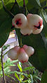 Syzygium samarangense fruit.jpg