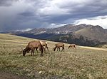 TRR Elk RMNP June 2012.jpg