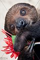 TWO TOED SLOTH SURINAM AMAZONE SOUTH-AMERICA (32173181344).jpg