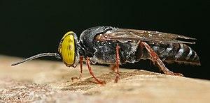 Crabronidae - Tachysphex sp.