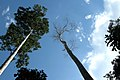 Taman Negara, Malaysia, Tall trees.jpg