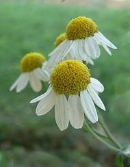 Matricaria recutita, fleur à réceptacle très convexe