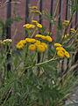 Tanacetum vulgare, 2015-07-18, Beechview, 01.jpg