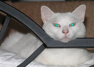 Cat - Reflection of camera flash from the tapetum lucidum