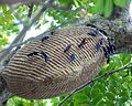 Tattoo Jep - This hornet's nest resembles or has the shape of a tattoo or armadillo.jpg