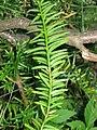 Taxus canadensis 6-eheep (5097483521).jpg