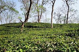 Jaintiapur Upazila - Image: Tea garden at Sripur (3)