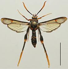 Teinotarsina aurantiaca holotype.jpg