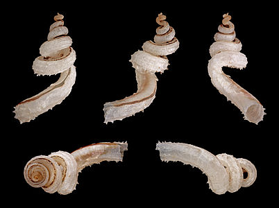 Shell of a Squamous Worm Snail, Tenagodus anguinus