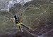 Cyrtophora moluccensis - Photo (c) Bignoter, algunos derechos reservados (CC BY)