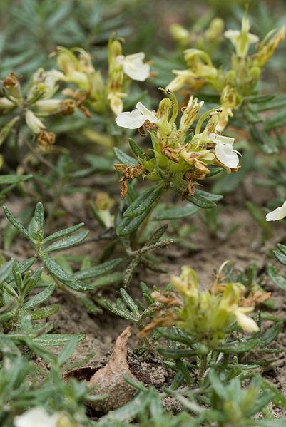 Teucrium montanum Bois de la Gouverne Malade à Pommiers (Aisne), France