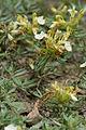 Teucrium montanum bois-gouverne-malade-pommiers 02 18072008 05.jpg