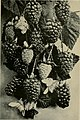 The California fruits and how to grow them; a manual of methods which have yielded greatest success, with the lists of varieties best adapted to the differenct districts of the state (1921) (20488451886).jpg