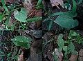 The Growth of Pinellia ternata.jpg