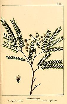 <i>Lysiloma latisiliquum</i> species of plant