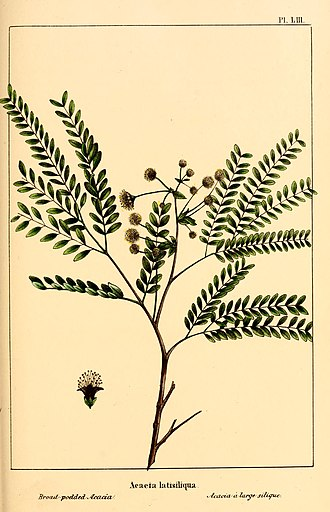 Lysiloma latisiliquum - Image: The North American sylva; or, A description of the forest trees of the United States, Canada and Nova Scotia. Considered particularly with respect to their use in the arts and their introduction into (14778618571)