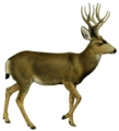 The deer of all lands (1898) Mule deer white background.png
