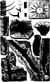 The fossil plants of the Devonian and Upper Silurian formations of Canada (microform) (1871) (20603985802).jpg