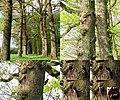The woodpecker with their nest in an almost dead oaktree in a lane near Oosterbeek Schaarsbergen - panoramio.jpg