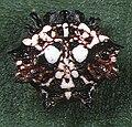 Thelacantha brevispina female 1 - Tanikawa.jpg
