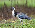 Threskiornis spinicollis - Centenary Lakes.jpg