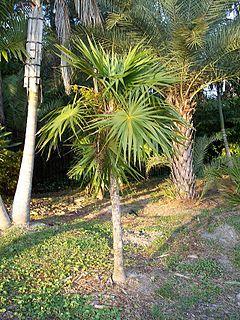 <i>Thrinax radiata</i> species of plant