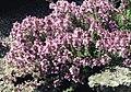 Thymus leucotrichus 2.jpg