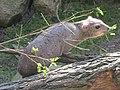Tierpark Cottbus Buschschliefer 2.JPG