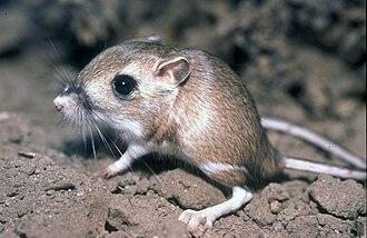 Tipton kangaroo rat - Image: Tipton Kangaroo Rat