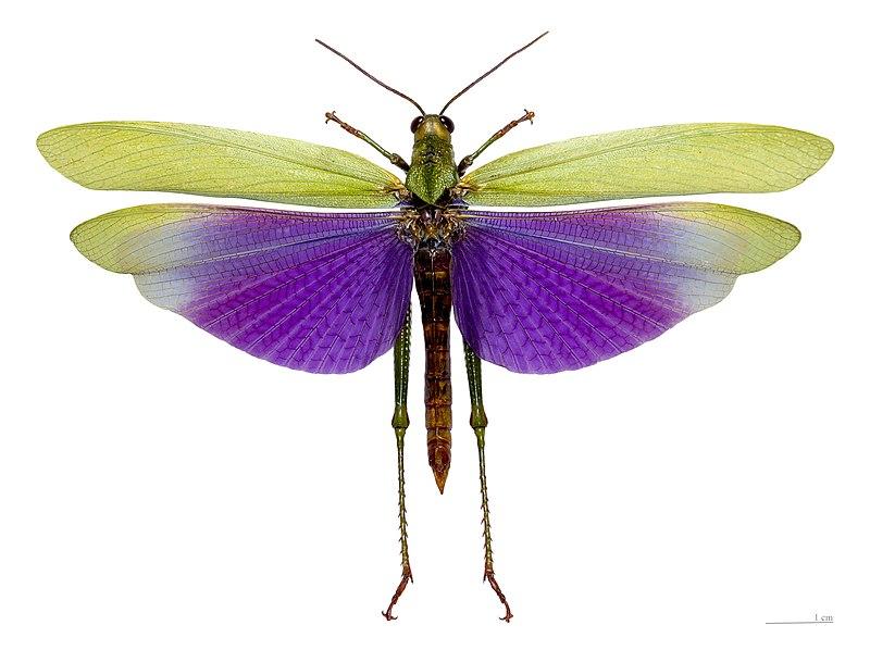 quel est votre insecte préféré 800px-Titanacris_Albipes_Vol