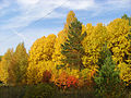 Tomsk Akademgorodok forest.jpg