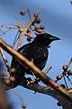 Tordo Cantor, Melodious Blackbird, Dives dives (11915259245).jpg