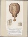 Torpedo marmorata - 1700-1880 - Print - Iconographia Zoologica - Special Collections University of Amsterdam - UBA01 IZ14200033.tif