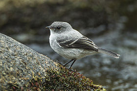 Torrent Tyrannulet - Colombia S4E0594 (16666046807).jpg