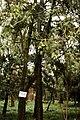 Torreya grandis 20090130.jpg