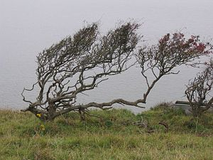 English: Tortured trees Trees showing the effe...