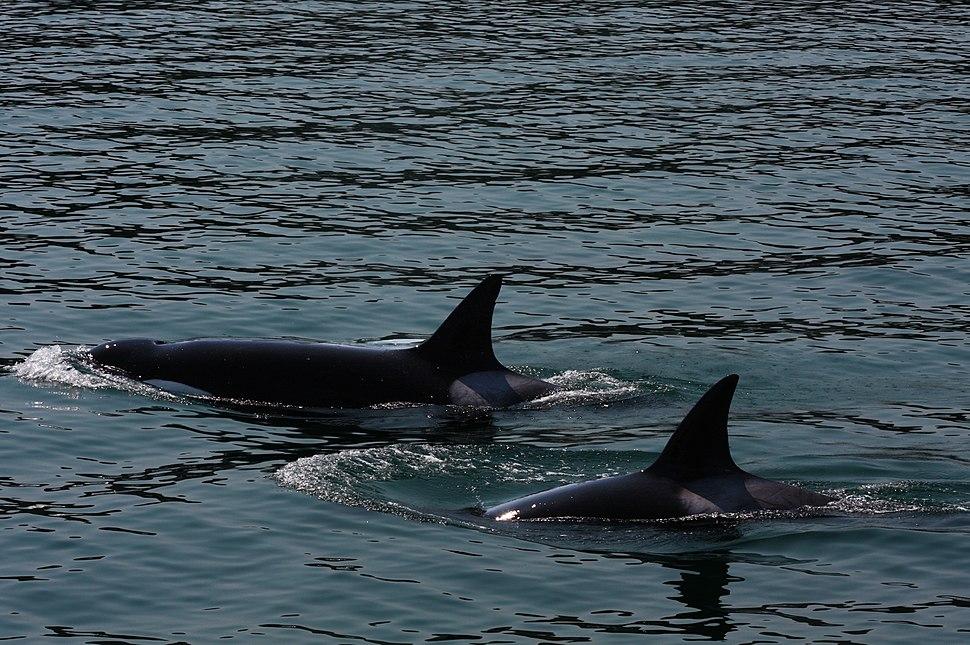 Transient Orcas (3727711709)