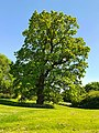 Tree on First Avenue, Harlow, May 2021.jpg