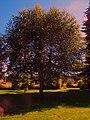Tree on the Cahill farm.JPG